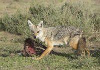 Штипски ловџии бараат отстрел на чакалот