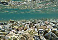 Чистата вода го врати ракот во Охридското Езеро