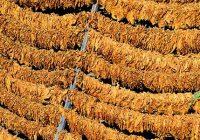 МЗШВ: Расте откупната цена на тутунот, се интензивираат инвестициите во тутунската индустрија