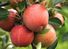 дали можи да се произведат 100 тона јаболка по хектар?