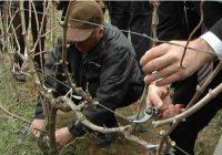 Традиционално закројување на лозовите насади