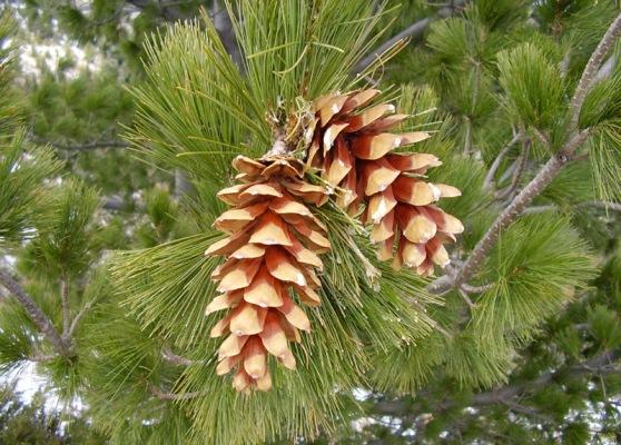 Pinus-Peuce-Molika-11