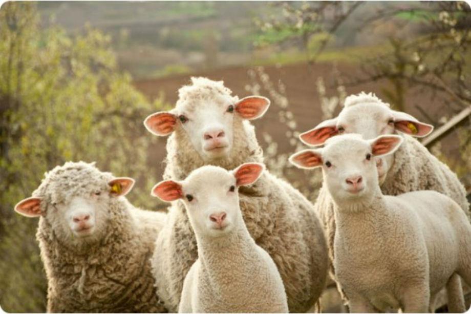 izvezeni nad 20 000 jagninja vo italija i hrvatska