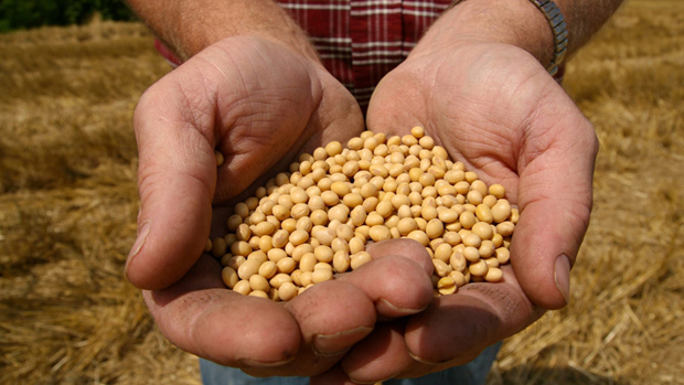 FILE - This July 5, 2008 file photo shows a farmer holding Monsanto's Roundup Ready Soy Bean seeds at his family farm in Bunceton, Mo. Monsanto Co., the world's biggest seed maker, on Wednesday, April 7, 2010 said that profit fell by 19 percent in the second quarter, as prices continued to stagnate for its popular herbicide Roundup. (AP Photo/Dan Gill, File)