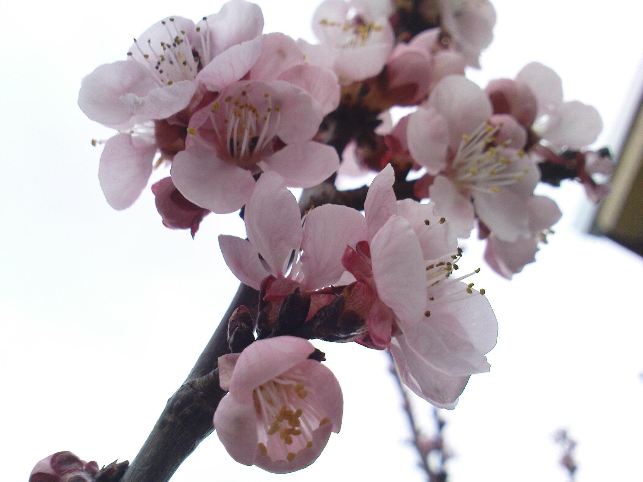 oshteteni cvetovite na kajsijata vo tikveshkiot region