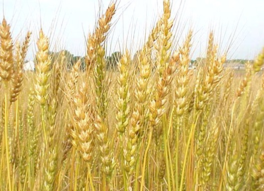 пченица