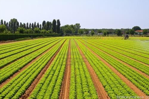 big-agriculture-field-of-green-salad-vegetables-09042015062420