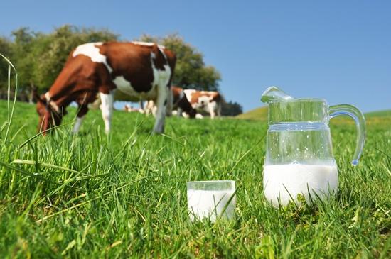 milk-cow