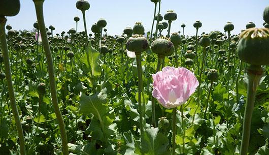 opium-fields9