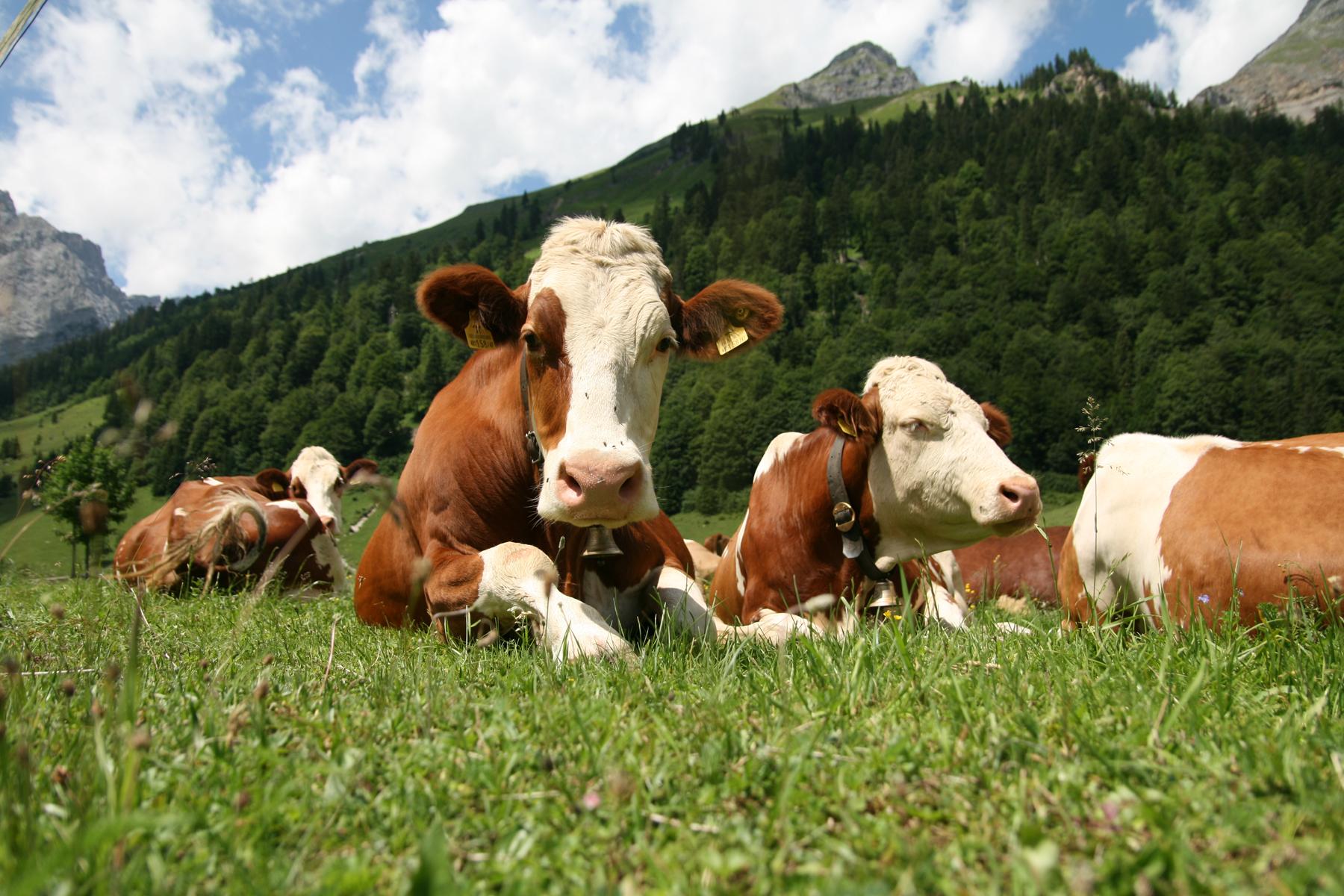 od krajot na maj vakcinacija na site goveda protiv jazlestata kozha