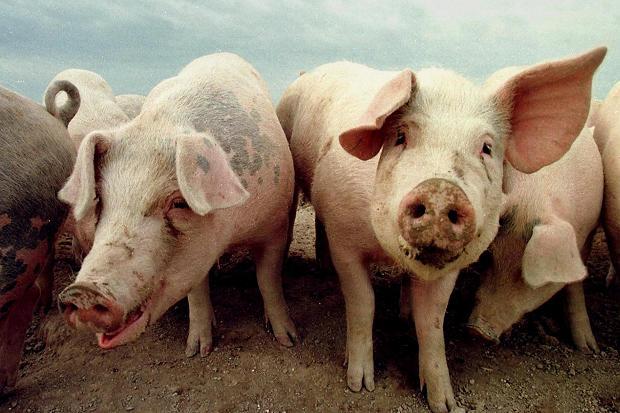 danskite svinji zarazeni so bakterijata la mrsa koja e otporna na antibiotici