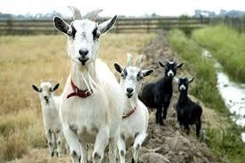zakup na zemjishte za odgleduvanje kozi