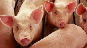 svinji